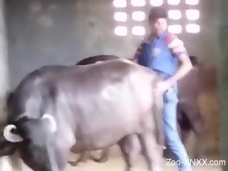 Horny farmer penetrates big cow from behind among other animals